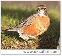 American Robin - Photo � Copyright 2005 Steve Botham