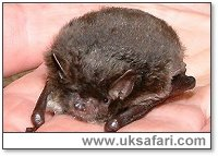 Daubenton's Bat - Photo � Copyright 2002 Gary Bradley
