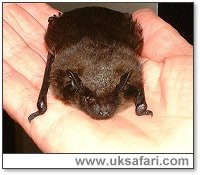 Serotine Bat - Photo � Copyright 2002 Gary Bradley