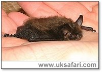 Whiskered Bat - Photo � Copyright 2002 Gary Bradley