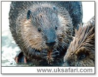 Beavers - Photo � Copyright 1983 Gary Bradley