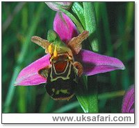 Bee Orchids - Photo � Copyright 2001 Gary Bradley