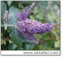 Buddleia Bush - Photo � Copyright 2003 Gary Bradley
