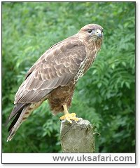Buzzard - Photo � Copyright 2003 Gary Bradley