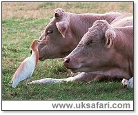 Cattle Egret with Cows - Photo � Copyright 2000 Gary Bradley