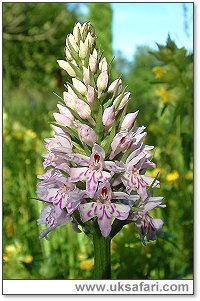 Common Spotted Orchid - Photo � Copyright 2003 Gary Bradley
