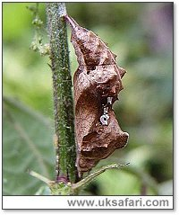 Comma Pupa - Photo � Copyright 2004 Dean Stables