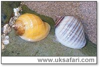Dog Whelks - Photo � Copyright 2002 Gary Bradley