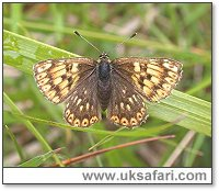 Duke of Burgundy Fritillary - Photo � Copyright 2004 Steve Botham: s.botham@ntlworld.com