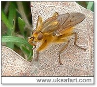Yellow Dung Fly - Photo � Copyright 2005 Gary Bradley
