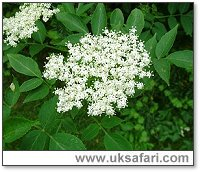 Elder tree flowers - Photo � Copyright 2006 G. Bradley