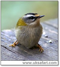 Firecrest - Photo � Copyright 2006 Dick Roberts