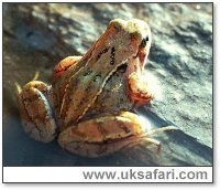 Back of a Frog - Photo � Copyright 2000 Gary Bradley