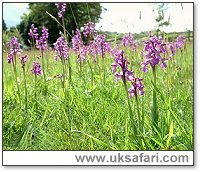 Green-Winged Orchids - Photo � Copyright 2003 Gary Bradley