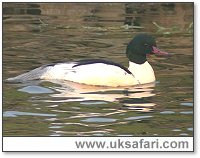 Male Goosander - Photo � Copyright 2005 Steve Botham: s.botham@ntlworld.com
