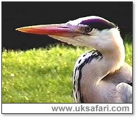 Grey Heron - Photo © Copyright 2003 Colin Ebdon