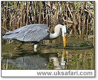 Heron Fishing - Photo � Copyright 2005 Kelvin Dean