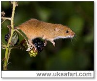 Harvest Mouse - Photo � Copyright 2006 Andy Darringon