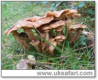 Honey Fungus - Photo � Copyright 2006 Malcolm Greaves