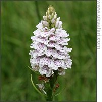 Heath Spotted Orchid - Photo � Copyright 2007 Lucinda Manouch