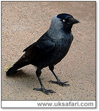 Jackdaw - Photo � Copyright 2005 Charmain Hall