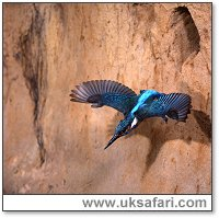 Kingfisher leaving its nest burrow - Photo © Copyright 2002 Tom Finley