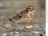 Lapland Bunting - Photo � Copyright 2008 Dean Eades