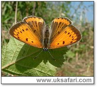Large Copper Butterfly - Photo � Copyright 2005 Gary Bradley