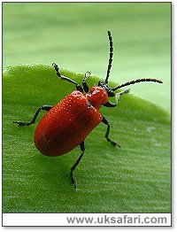 Lily Beetle - Photo � Copyright 2004 Gary Bradley