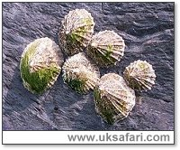 Limpets - Photo � Copyright 2000 Gary Bradley
