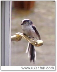 A long-tailed tit checks his reflection - Photo � Copyright 2005 Alex Webborn