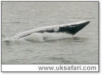 Minke Whale - Photo � Copyright 2002 Lasley Gadsden