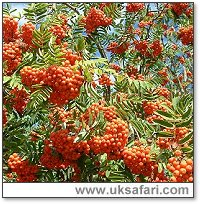 Mountain Ash in Berry - Photo � Copyright 2006 G. Bradley