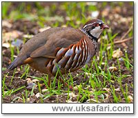 Red-Legged Partridge - Photo � Copyright 2004 Andy Darrington