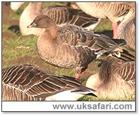 Pink-Footed Goose - Photo � Copyright 2005 Steve Botham