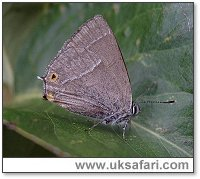 Purple Hairstreak - Photo � Copyright 2005 Dean Stables