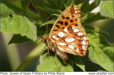 Queen of Spain Fritillary - Photo � Copyright 2008 Philip Bland