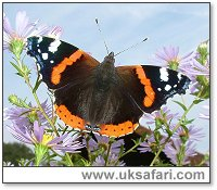 Red Admiral - Photo � Copyright 2005 Gary Bradley