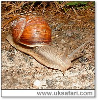 Roman Snail - Photo � Copyright 2004 Gary Bradley