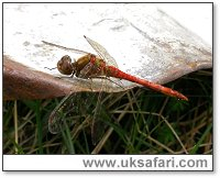 Ruddy Darter - Photo � Copyright 2006 Jane Relton