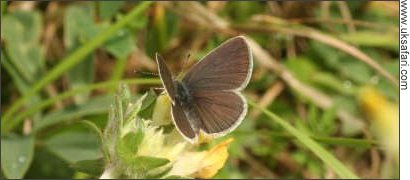 Female Small Blue Butterfly - Photo � Copyright 2008 Philip Bland