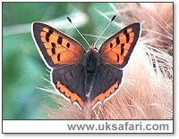 Small Copper Butterfly - Photo � Copyright 2000 Gary Bradley