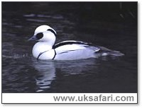 Smew (male) - Photo � Copyright 2003 Elliott Neep