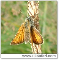 Small Skipper - Photo � Copyright 2003 Gary Bradley