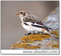 Snow Bunting - Photo � Copyright 2003 Steve Botham