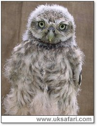 Little Owl - Photo � Copyright 2004 Julie Finnis
