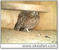 Orphaned Little Owls - Photo � Copyright 2004 Julie Finnis