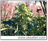 Stinking Hellebore - Photo � Copyright 2000 Gary Bradley