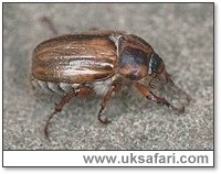 Summer Chafer - Photo � Copyright 1999 Gary Bradley