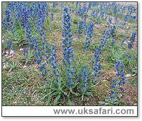 Viper's-Bugloss - Photo � Copyright 2003 Gary Bradley